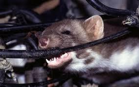 chuột cắn khoang máy oto